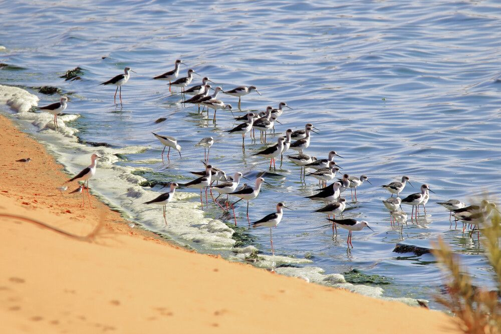 Stelzenläufer (Himantopus himantopus) am Lac Yoa