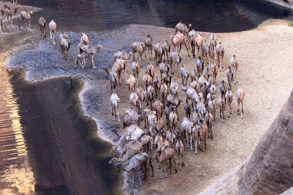 Tubu-Nomaden führen ihre großen Kamelherden hierher zum Trinken.