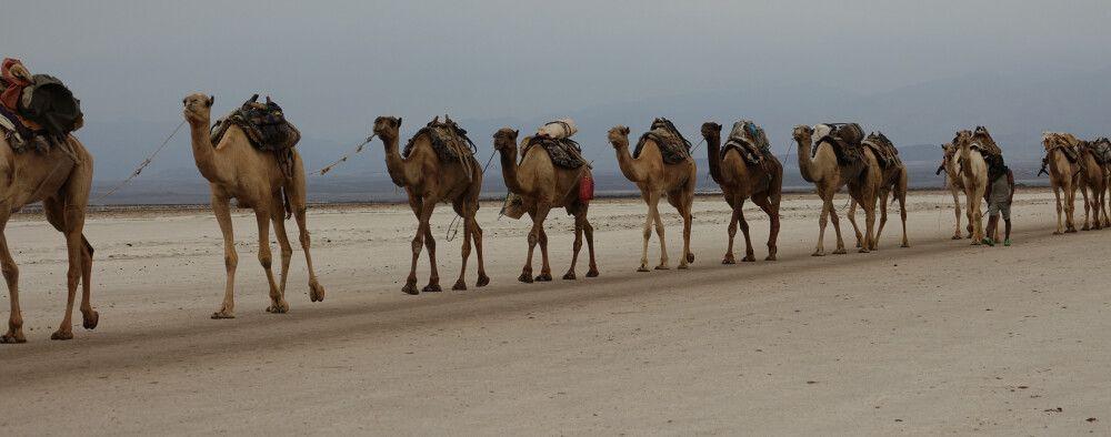 Kamelkarawane in der Danakil