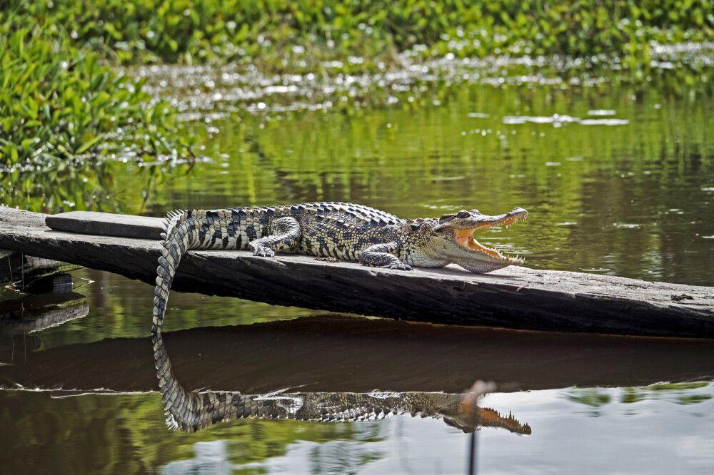 Krokodil im Nam Cat Tien Nationalpark