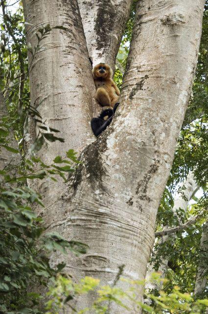 In einer Baumgabel sitzt eine Gibbon-Mutter mit ihrem Sprössling im Nam Cat Tien Nationalpark.