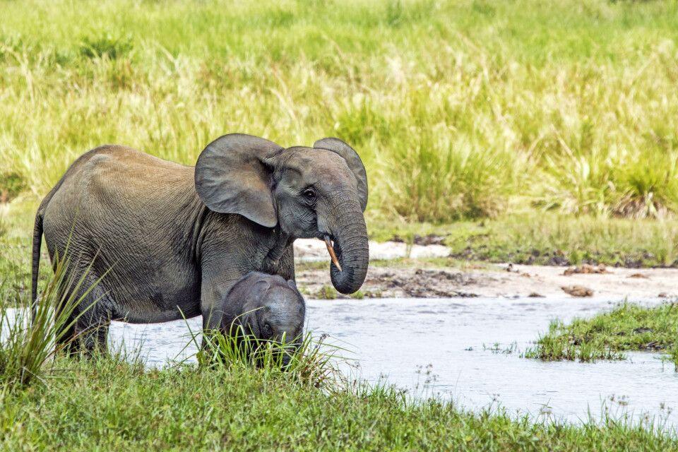 Elefant mit Jungtier in Kongo