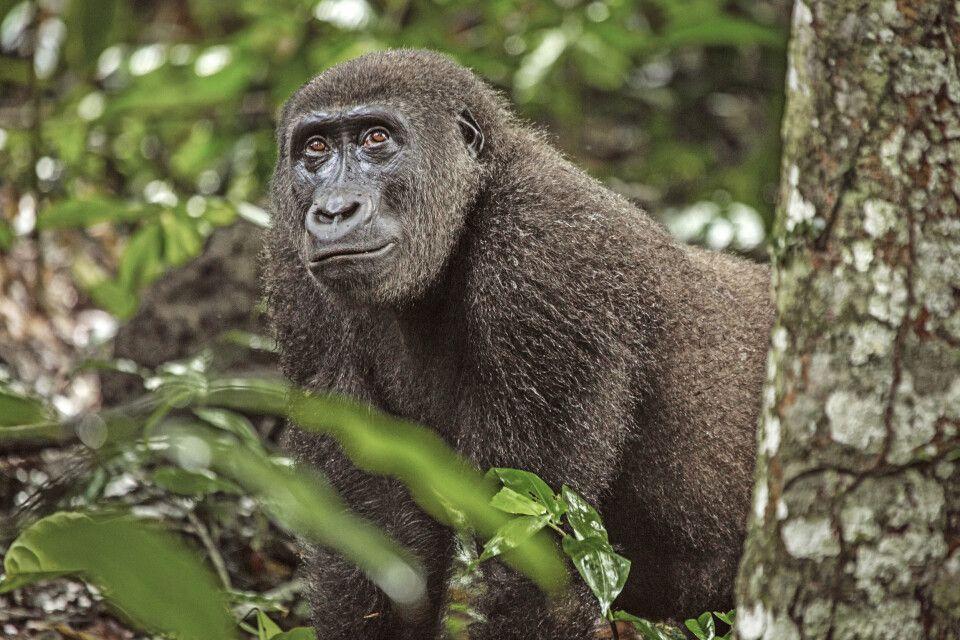 Gorilla im Odzala-Kokoua-Nationalpark