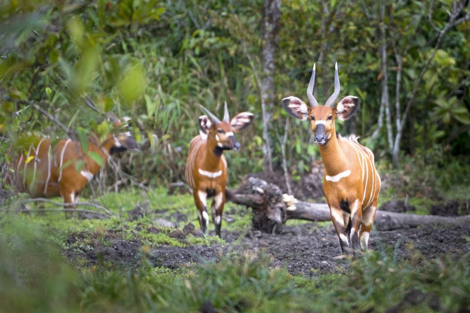 Bongo-Antilopen im Regenwald im Kongo