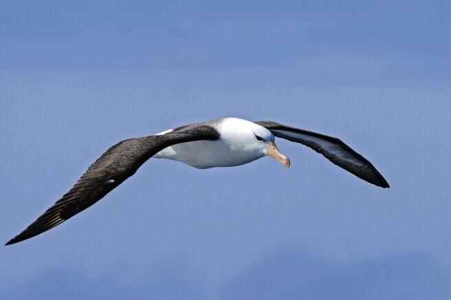 Viele Seevögel – wie der Schwarzbrauenalbatross – folgen dem Schiff durch die Drake Passage