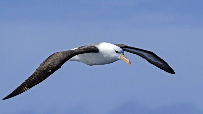 Viele Seevögel – wie der Schwarzbrauenalbatross – folgen dem Schiff durch die Drake Passage © Diamir