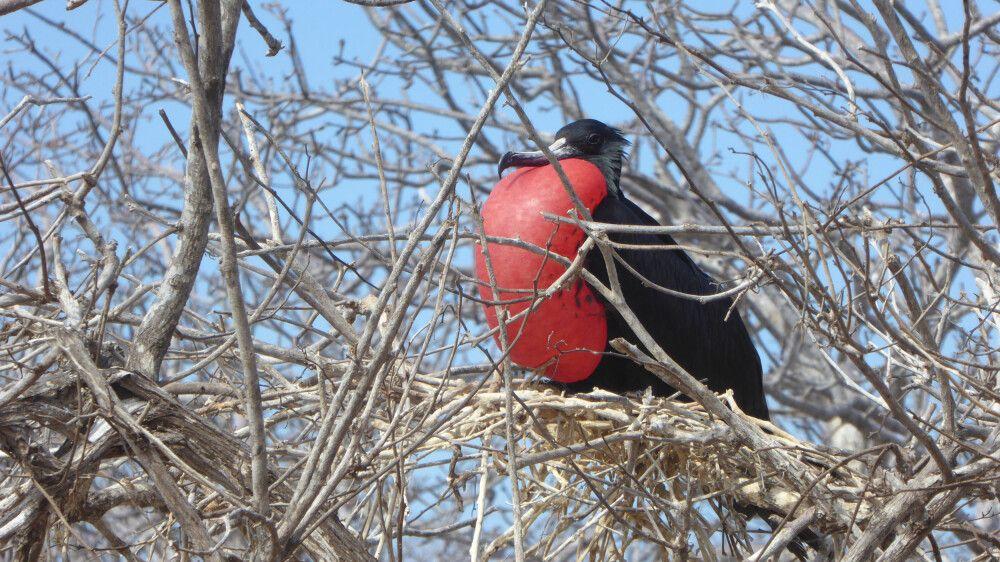 Fregattvogel – Imposantes Männchen