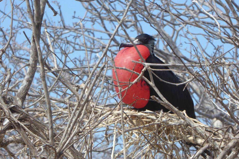 Fregattvogel - Imposantes Männchen
