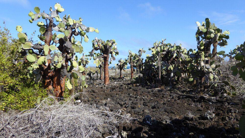 Riesige Opuntien auf kargem Boden vulkanischen Ursprungs