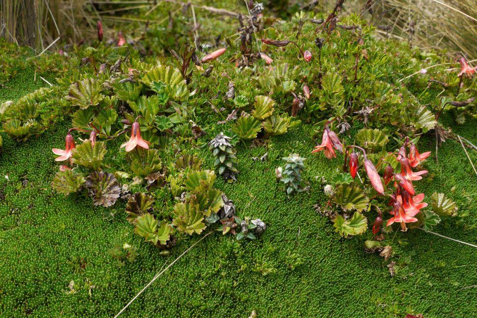 Vegetation im Paramo am Cotopaxi