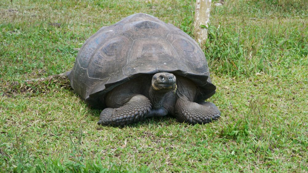 beeindruckende Riesenschildkröte auf Galapagos