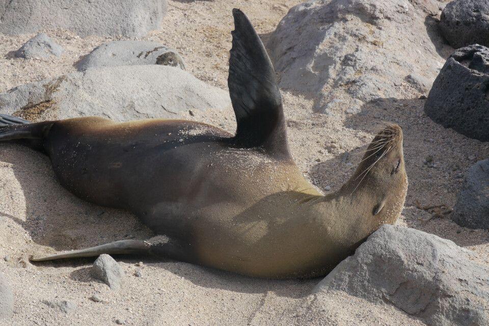 Ausgiebiges Sandbad einer Galapagos Seelöwe