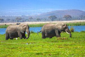 Elefanten im Amboseli