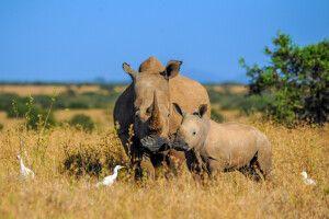 Nashorn mit Baby