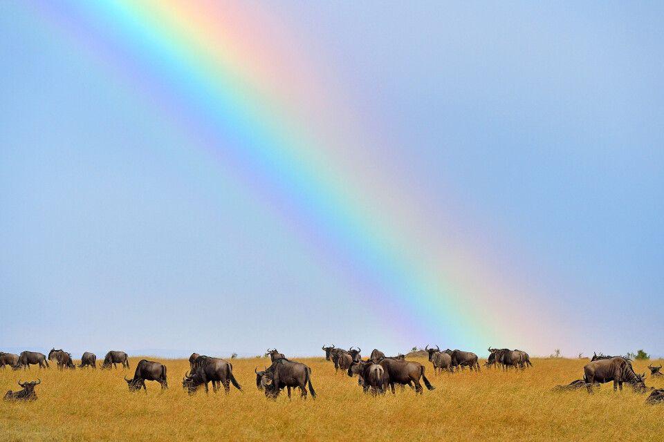 Gnuwanderung in der Mara