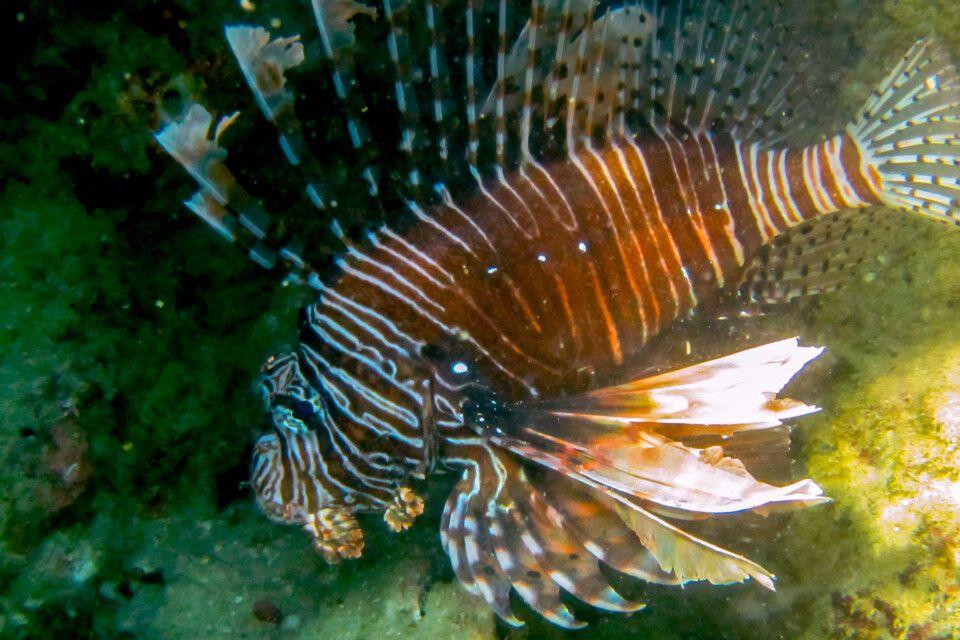 Feuerfisch am Riff