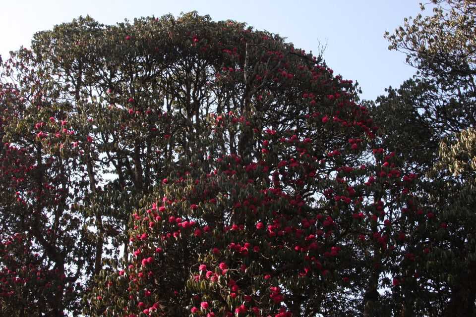 Nepal Rhododendronblüte