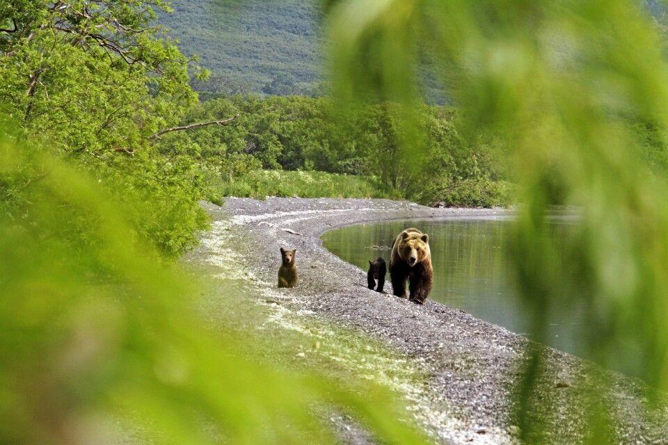 Bärenfamilie am Kurilensee