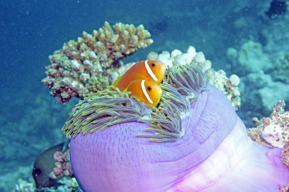 Clownfische in einer Anemone