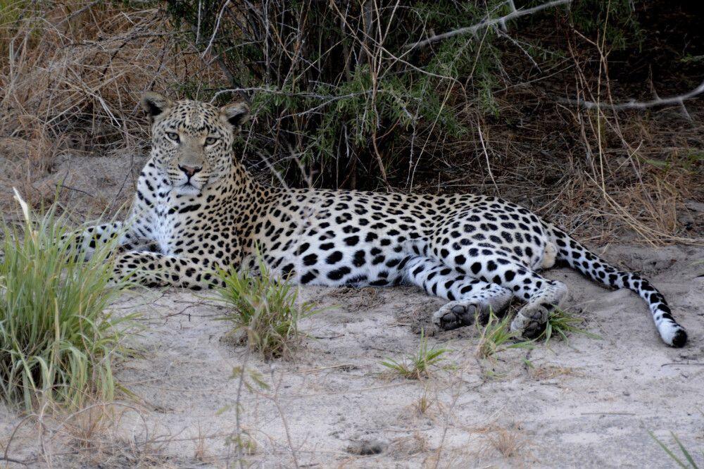 Mit erfahrenen Guides einen Leoparden aufgespürt