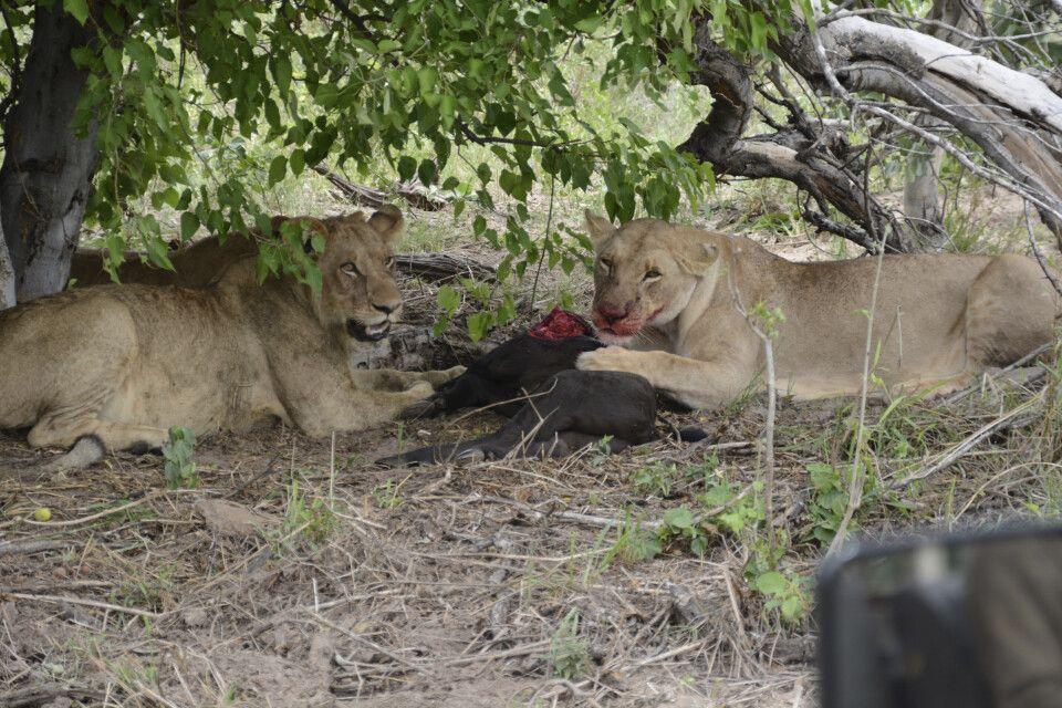 Zwei Löwendamen nach erfolgreicher Jagd