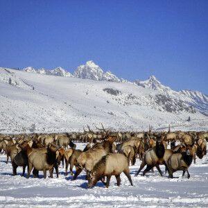 Hirschherde im winterlichen Jackson Hole, vor Grand Tetons, Wyoming