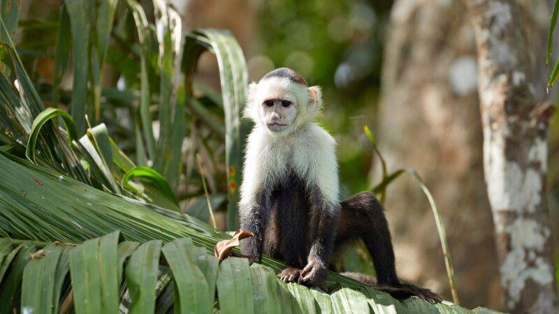 Affe im Regenwald © Diamir