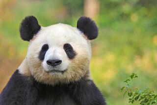 Panda - Bifengxia Naturschutzgebiet