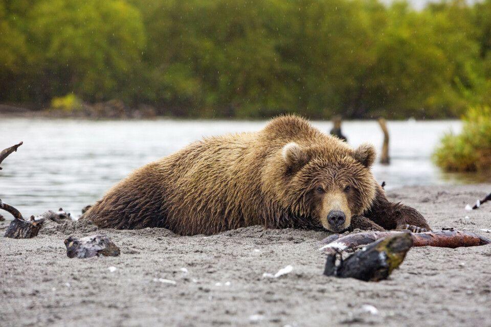 Bär dösend nach dem Lachsfang