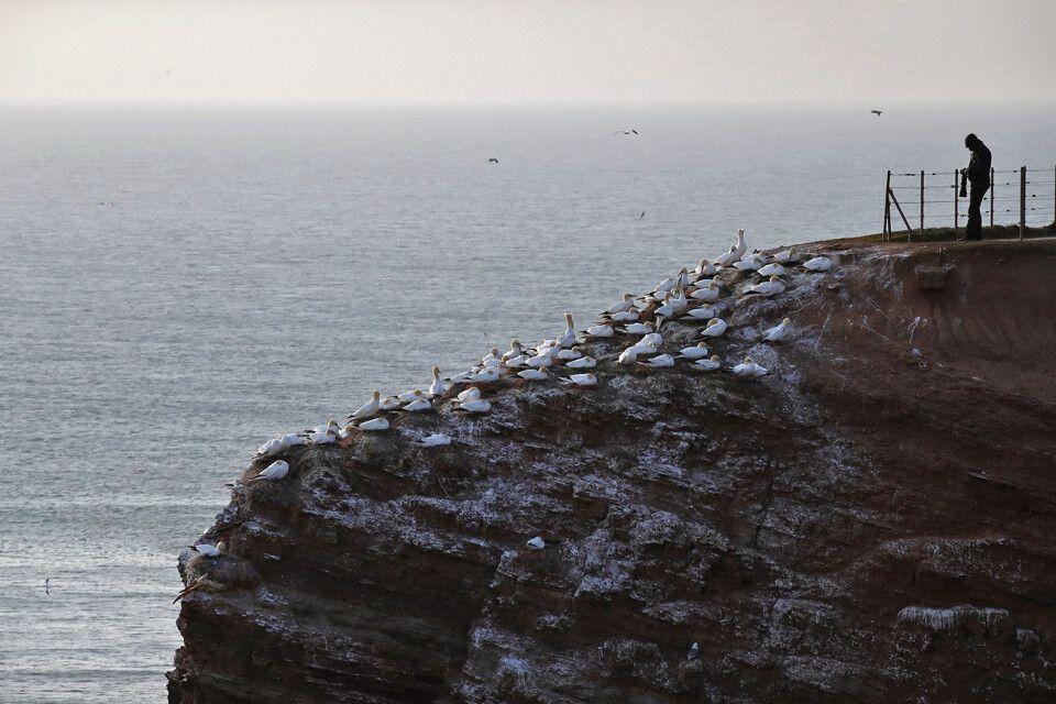Vogelfelsen an Helgolands Küste