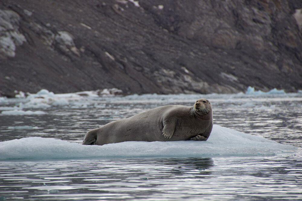 Bartrobben sieht man sehr oft auf Eisschollen ausruhen