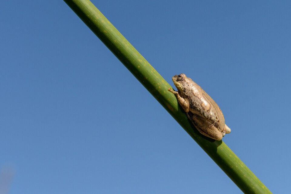 Daumennagelklein und schwer zu entdecken: Angolanischer Riedfrosch