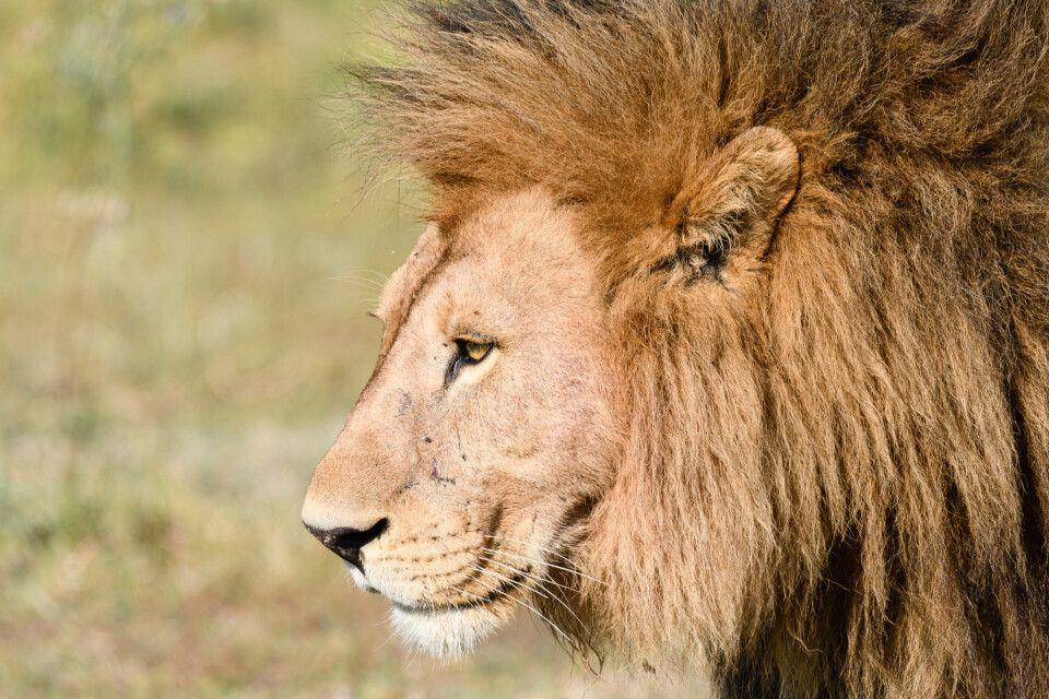 Mächtige Mähne: Löwen-Porträt, Moremi