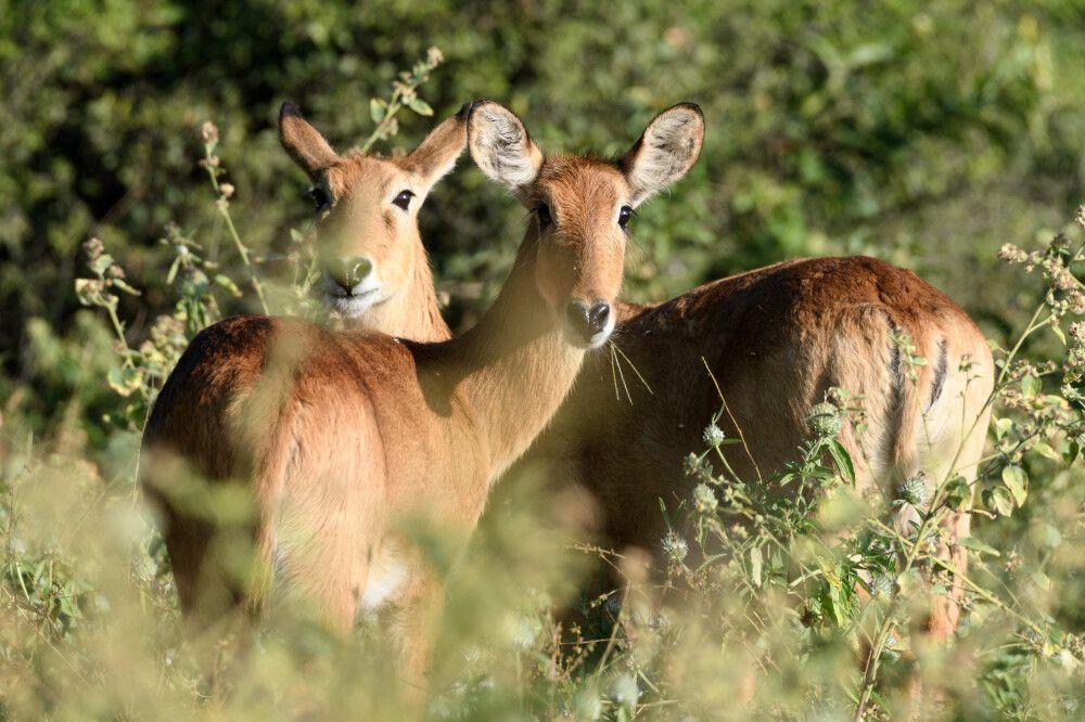 Das geht ja gut los – auf die Puku-Antilopen, die man in Botswana nur am Chobe-Fluss beobachten kann und die auf der Roten Liste der gefährdeten Arten stehen, stoßen wir bereits bei der ersten Pirschfahrt.
