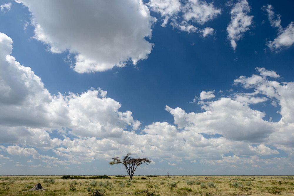 Schirmakazie in der Mababe-Senke