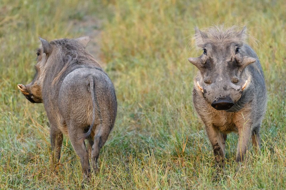 Warzenschweine sind Charaktertiere, und zwar sowohl in der Vorder- als auch in der Rückansicht.