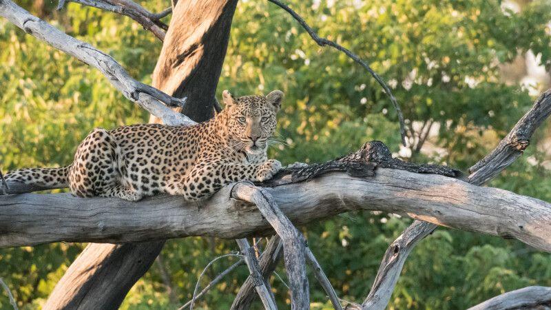 Leopardin, Moremi © Diamir