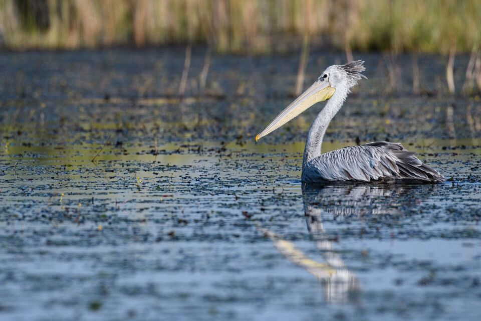 Die Frisur sitzt: Pelikan im Okavango-Delta