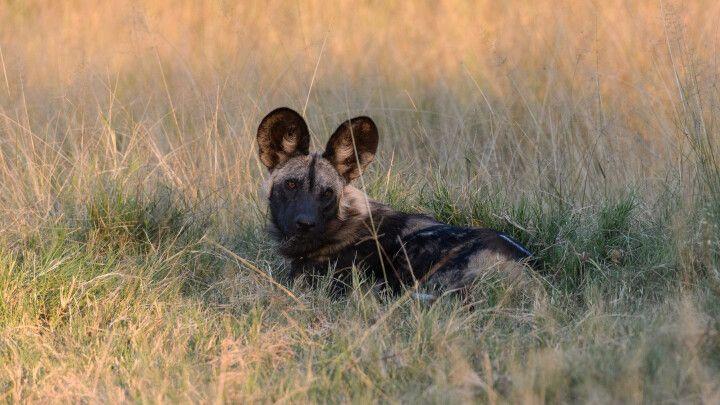 Vor der abendlichen Jagd: Afrikanischer Wildhund, Moremi