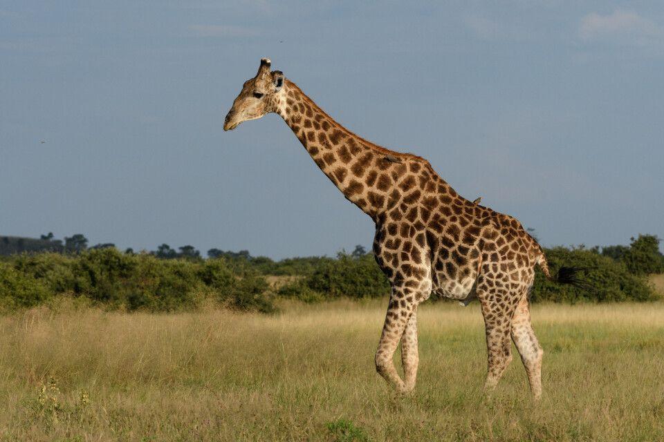 Giraffe im Abendlicht