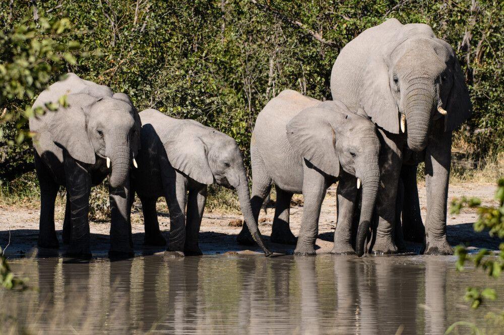 Familienausflug zum Wasserfassen: Elefanten beim Trinken