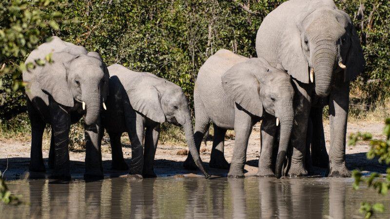 Familienausflug zum Wasserfassen: Elefanten beim Trinken © Diamir