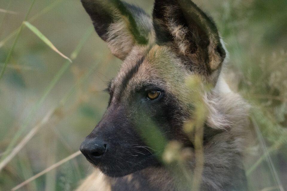 Charakterkopf: Afrikanischer Wildhund, Moremi