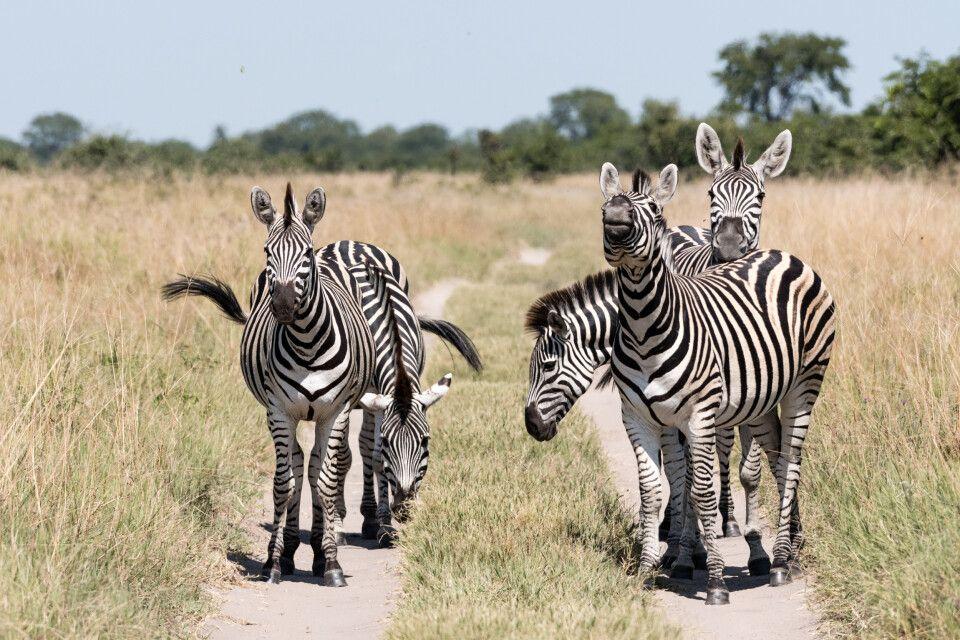 Zebras als Straßensperre: tierische Begegnung in der Nähe der Mababe-Senke