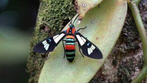 Schmetterling Euchromia Folletii