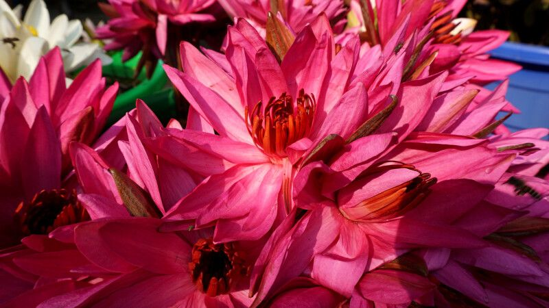 Blühender Lotus © Diamir