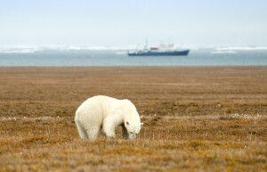 Eisbären sieht man häufig auf Wrangel Island