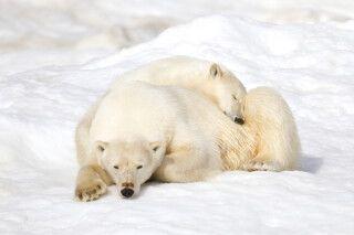 Seltener Anblick - zwei Eisbären ganz kuschelig
