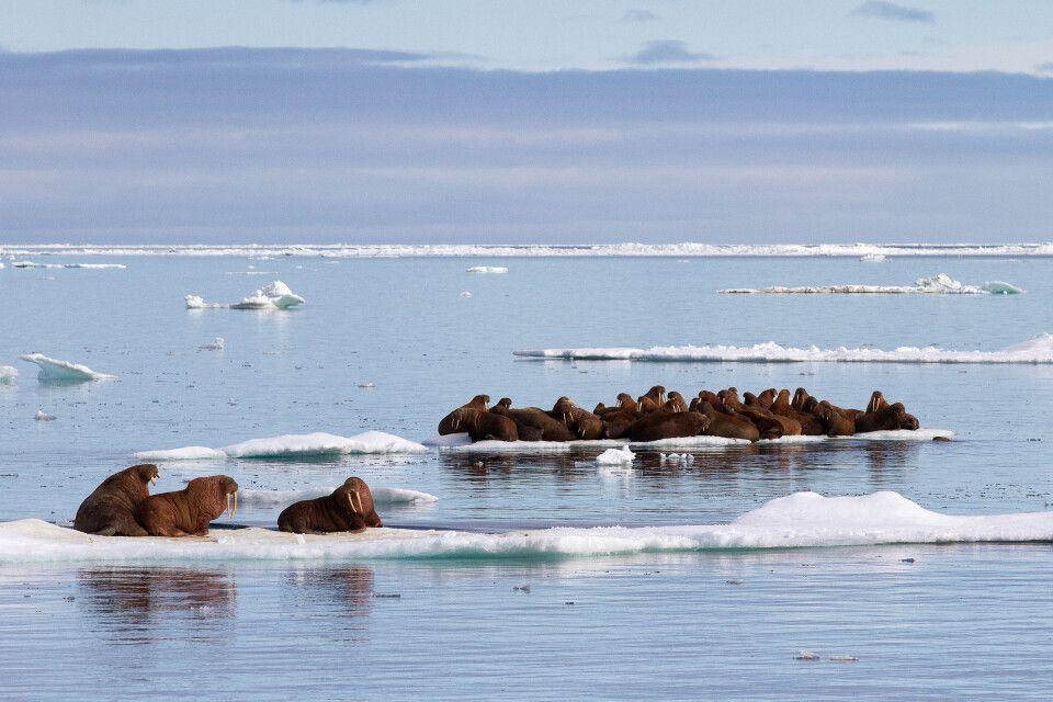 Walrossherde ruht auf einer Eisscholle
