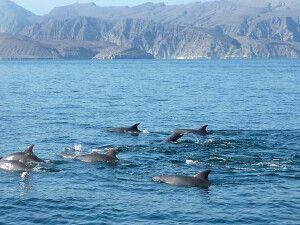 Delfine vor der Küste von Musandam